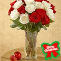 Rosas de Navidad, -Argentina