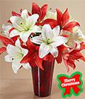 Christmas Sunshine Flowers, -Panama