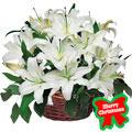 Lilies Christmas Dream, -Mexico