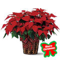 Mexico Christmas Plant, -Mexico