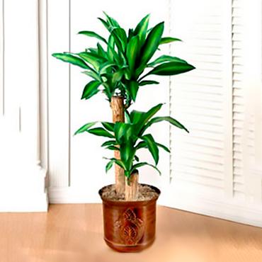 Planta Palo del Brasil